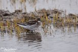 Red-ecked Phalarope